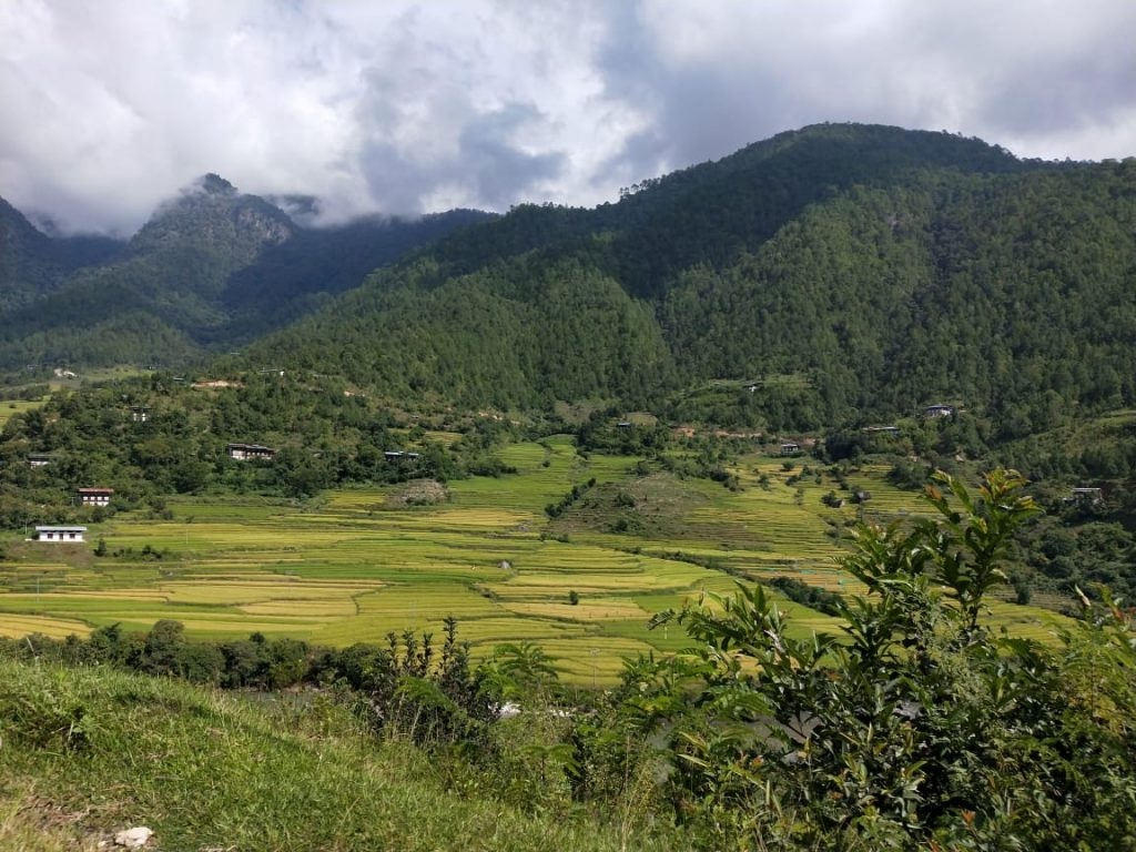 Paddy fields in Punakha