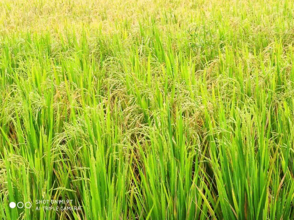 Rice ready for harvesting in Bali