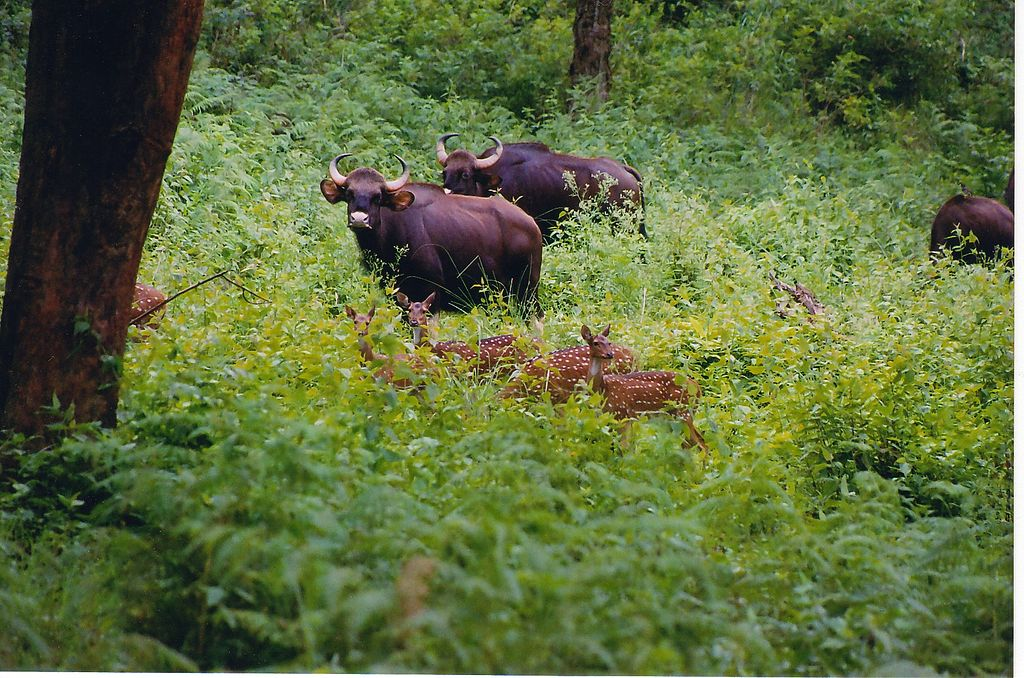 Bison herd at BR Hills places near Bangalore