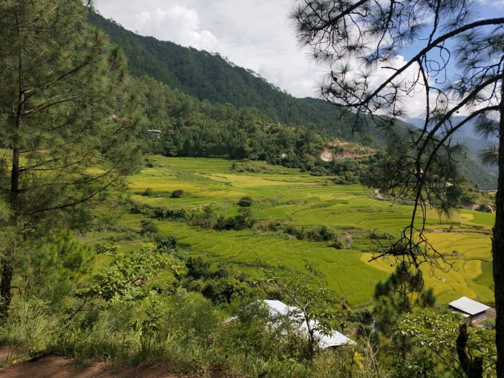 Paddy fields of Punakha